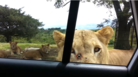 These Tourists Had No Idea A Lion Would Open Their Car Door